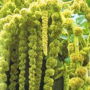 "Амарант сорт ""ЗЕЛЁНЫЙ КАСКАД"" (Green Cascade)  750 семян"