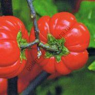 """Паслён эфиопский сорт  """"ТЫКОВКА НА ПАЛОЧКЕ""""   (Pompoen op een stokje)  15 семян"""