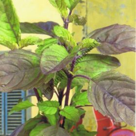 "Базилик  сорт ""ТУЛСИ"" (Basilicum Tulsi)   1.5 гр.  3000 семян"