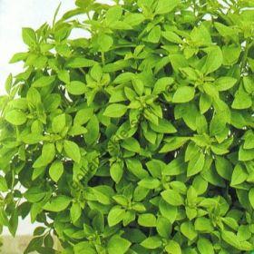 """Базилик  сорт """"МИНЕТТЕ"""" (Basilicum Minette)   0.4 гр.  300 семян"""