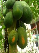 "Папайя  сорт ""ГАВАЙСКИЙ ВОСХОД"" (papaya Sunrise / Hawaiian Solo)   10 семян"