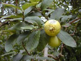 """Гуава  сорт """"ЯВА""""  (Psidium guajava)   10 семян"""