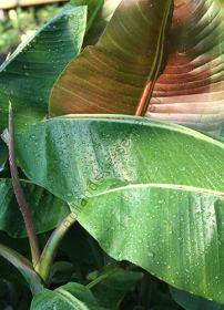 "Банан  сорт ""ГИБРИД ХЕЛЕН"" (Musa sp. Helens Hybrid)   10 семян"