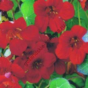 "Настурция сорт ""ИМПЕРАТРИЦА ИНДИИ""(Empress of India) 3 гр семян"