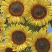 "Подсолнух сорт ""СОЛНЕЧНОЕ ЗАТМЕНИЕ"" (FULL SUN) 15 семян"