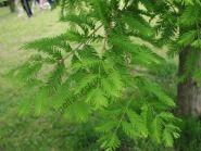 """Метасеквойя """"Глиптостробоидная"""" (Metasequoia glyptostroboides) 10 семян"""