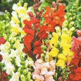 """Львиный зев сорт """"РАДУЖНЫЙ МИКС""""  (Rainbow mix)  2200 семян"""