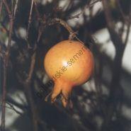 "Гранат  сорт  ""ГРАНАТОВОЕ ЯБЛОКО""   (granaatappel)   10 семян"