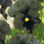 """Виола сорт """"БЛЭКИ""""  (Blacky)  0.10 гр. 160 семян"""