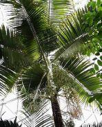"""Пальма  сорт """"КОРОЛЕВСКАЯ""""   (Archontophoenix alexandrae)   10 семян"""