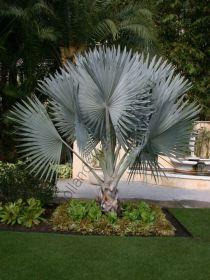 "Пальма  сорт ""СЕРЕБРО БИСМАРКА""  (Bismarckia nobilis Silver)   10 семян"