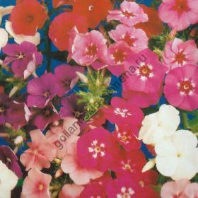 """Флокс сорт  """"КРУПНОЦВЕТ МИКС""""  (Grandiflora mix)   375 семян"""