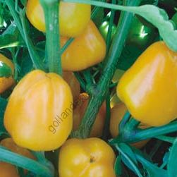 """Перец сладкий """"МИНИ ЖЕЛТЫЙ"""" (Mini paprika geel) 25 семян"""