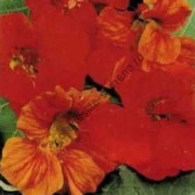 """Настурция сорт """"АЛЫЙ ПРОБЛЕСК""""(Scarlet Gleam) 3 гр семян"""