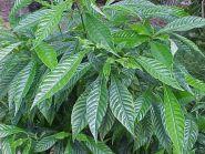 КОФЕ КАТУРА   ( Coffea catura) 10 семян